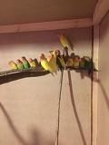 Попугаи неразлучники ручные птенцы