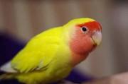 Птенцы неразлучника розовощёкого