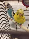 Волнистые Попугаи ?? Тоша и Шани