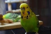 Птенцы Выставочного Волнистого Попугая (ввп), чехи