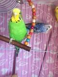 Самки волнистого попугая , собственного разведения