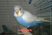 Волнистый попугай птенец самец