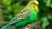 Продаются волнистые попугаи