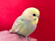 Птенец волнистых попугаев