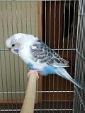 Попугаи птенцы - волнистые самочки 2 - 4,5 мес.