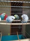 Волнистые попугайчики птенцы - 2 мес.