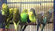 Волнистые попугаи. ОПТОМ