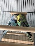 Попугай ввп чех выставочный самка