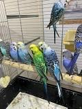 Волнистые попугаи Чехи