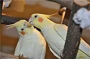 Попугай корелла с клеткой