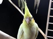 попугай корелла птенец