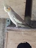 Попугаи кореллы молоденькие.