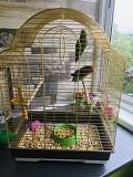 Попугаи Неразлучники с клеткой,возраст 8 мес.