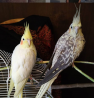 Продам двух попугаев с клеткой, игрушками и запасом корма