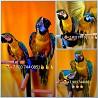Сине желтый ара - ручные птенцы из питомника