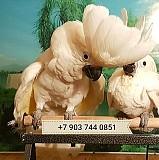 Белохохлый какаду - ручные птенцы из питомника