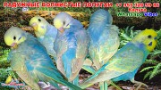 Радужные волнистые попугаи птенцы