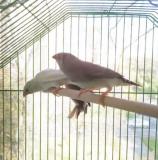 Зебровые амадины - птенцы
