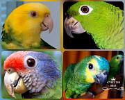 Попугай амазон - птенцы выкормыши из питомника