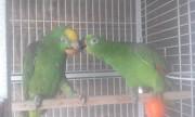 Амазоны птенцы говорящие выкормыши от заводчика