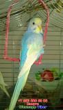 Радужный волнистый попугай птенец самка