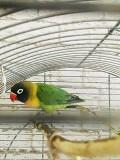 Попугай масковый неразлучник
