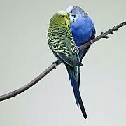 Волнистый Попугай (Melopsittacus undulatus)