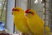 Попугай Какарик (Cyanoramphus)