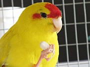 Попугай Какарик Выкормыш