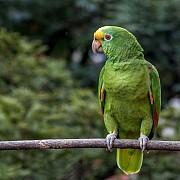 Желтолобый амазон (Amazona ochrocephala)