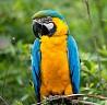 Сине-жёлтый Ара (Ara ararauna)