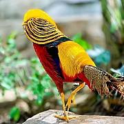 Золотой фазан (Chrysolophus pictus)
