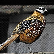 Королевский фазан (Syrmaticus reevesi)