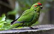 Попугай Какарик Зеленый
