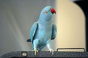 Попугай Ожереловый Голубой