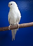 Попугай Певчий Белый