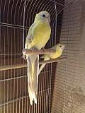 Попугай Певчий Желтый
