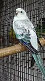 Попугай Певчий Голубой