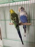Два волнистых попугая с клеткой
