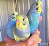 Птенцы волнистых попугаев