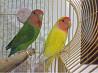 птенцы попугаи неразлучники с клеткой