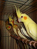 Птенцы кореллы