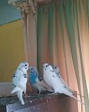 Волнистые попугаи 2,5 месяца