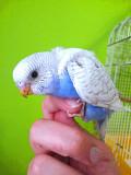 Птенец волнистого попугая, самочка