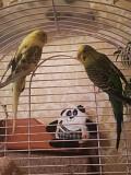 2 волнистых попугая+клетка