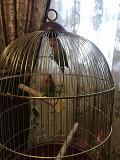 Попугаи (неразлучник)