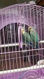 Неразлучники-попугаи