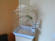 Ожереловый индийский попугай+большая клетка