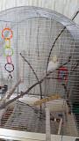 Продам попугая нимфа корелла
