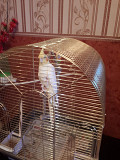 Попугай корелла с клеткой,поилкой,кормушкой